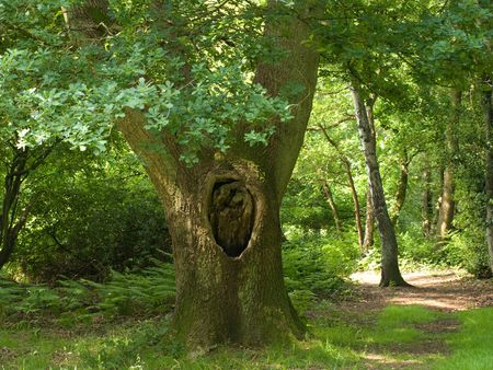 english oak: An old English Oak tree in forest Stock Photo