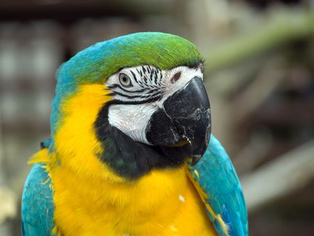 Blue, Yellow and Green Parrot close up of head photo