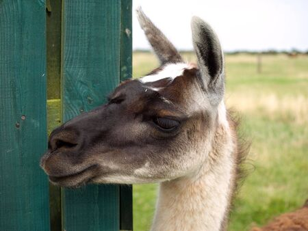 Close up of the head of a llama photo