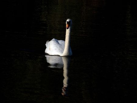 White swan with a reflection on calm water photo