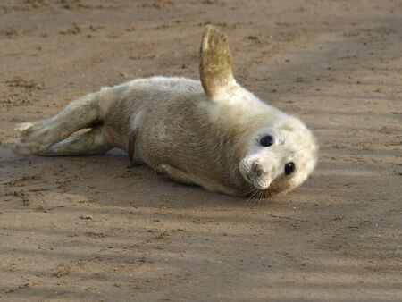 pups: Very young Atlantic Grey Seal pup on sand