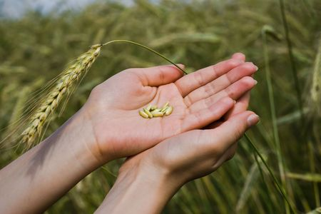 Grains of wheat in the hands on the background of field photo