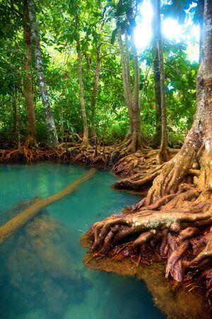 marsh plant: Radici di alberi di mangrovie nella foresta pluviale, Thailandia Archivio Fotografico