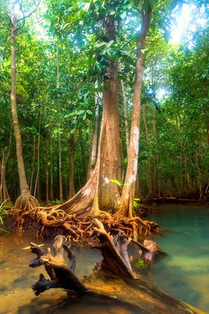 mangrove forest: Roots of mangrove trees in rainforest, Thailand Stock Photo