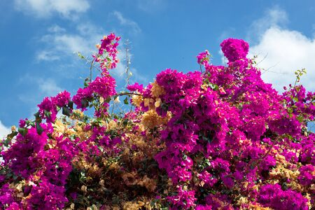 magenta flowers: Blooming bush with magenta flowers on the blue sky background