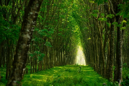 Plantation of rubber trees in Thailand photo