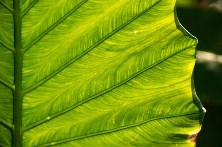 tropical tree: Streaks of green leaf of tropical tree, close up