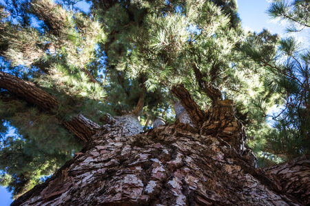 pino: Famous oldest pine tree at Tenerife, Canary Islands Stock Photo