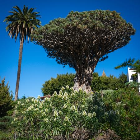 millennial: Famous millennial tree Drago in Icod de los VInos, Tenerife, Canary Islands