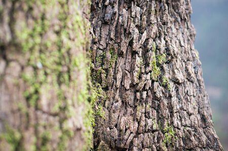eucalyptus trees: Eucalyptus trees close-up in Esperanza forest, Tenerife, Canary Islands