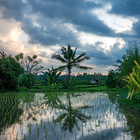 Fabulous reflection of palm in the water of rice field on sunset near Ubud place, Bali, Indonesia