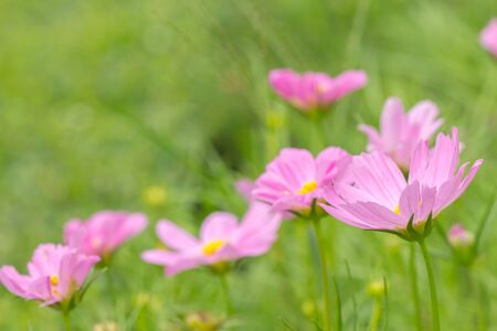cosmos flowers: Field of cosmos flowers blooming in the garden