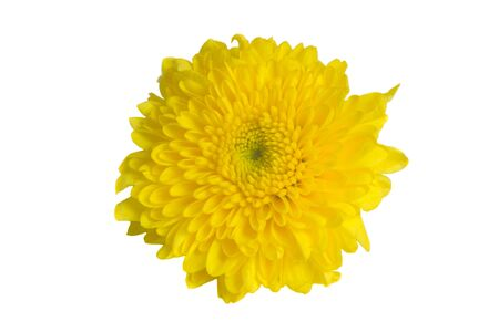 isolated: Mum flower isolated on white  Stock Photo