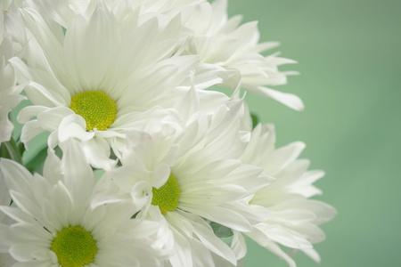White mum flowers on green stock photo picture and royalty free stock photo white mum flowers on green mightylinksfo