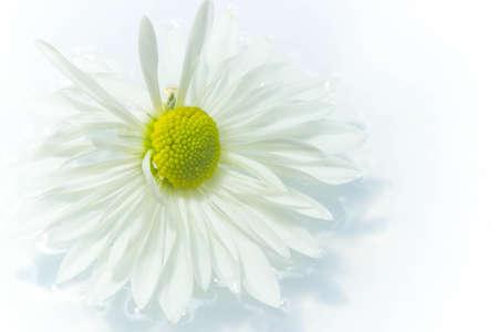 closeup: White Mum flowers closeup