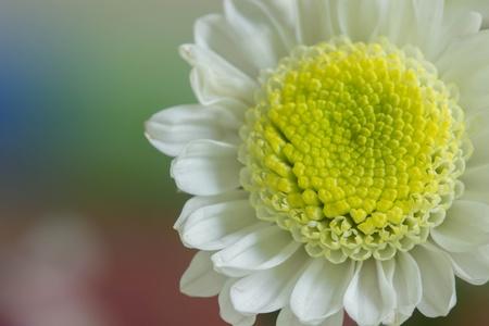 closeup: White Mum flower closeup