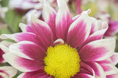 closeup: Pink Mum flower closeup Stock Photo