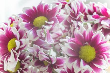 closeup: Pink Mum flowers closeup