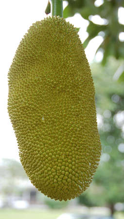 yielding: a tropica furit tree bearing two big jack fruit which conatained hundre of smaller fruit and seeds
