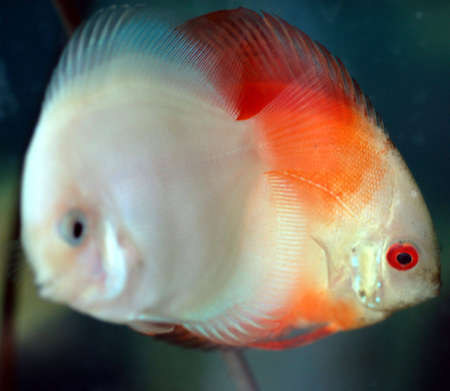 discus: discus fishes