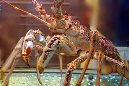 suprise: live lobster ready to be cooked Stock Photo