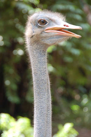 ostrich standing looking far for any danger photo