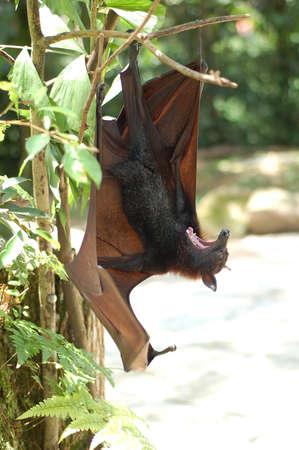 omen: fruit bat found in Malaysia