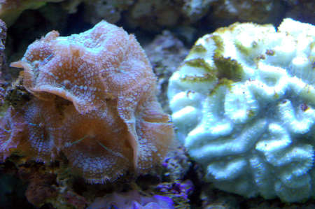 live coral: Anemones and cora in a live coral aquarium