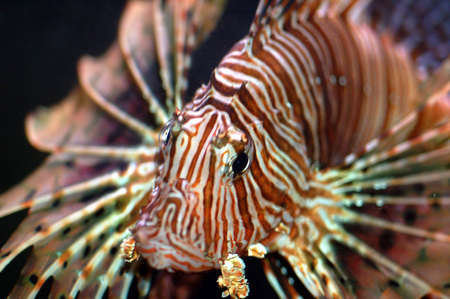 marine fish called lionfish displaying colorful fins with strips of red and white Stock Photo - 577293