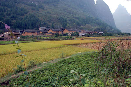 padi: padi ready for harvest in China