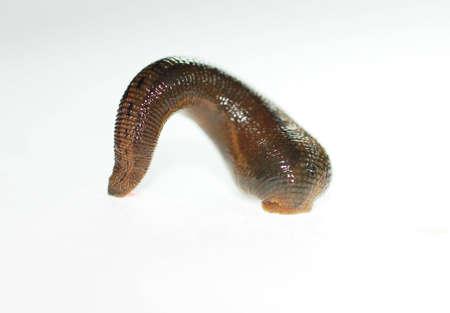 sanguijuela: con una capa de grasa desgastado que vive en lugar h�medo y atar a s� mismo los cuerpos de los seres humanos y animales para tener en su sangre  Foto de archivo