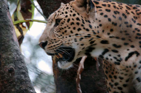 large wild cat that has yellow fur with black spots on it and lives in Africa and southern Asia