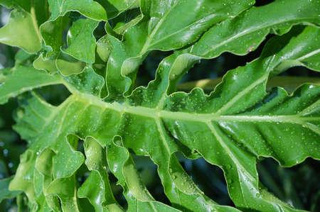 young leaf: hoja de j�venes que muestran delicado patr�n de curvas
