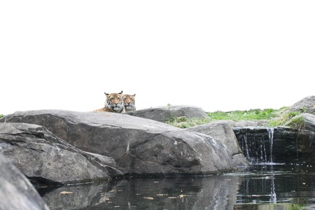 Tigers peering over rocks and waterfall. Isolated from the sky for ease of use.