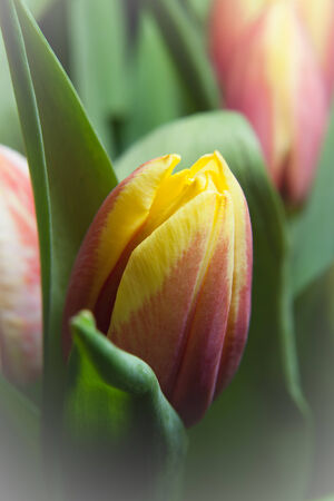 latent: newborn yellow and red tulip with more tulips in background Stock Photo
