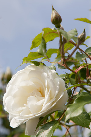latent: white peony with latent bud before sky