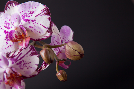 latent: white and purple moth orchid with buds on black background with copy space
