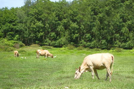 The cows are eating grass.