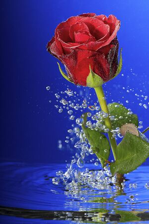 Underwater red rose surrounded by bubbles  photo
