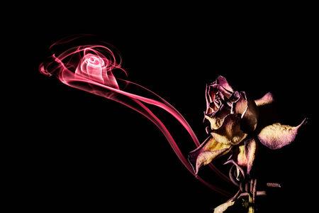 Departing soul of dying rose, studio shot on black  Stock Photo
