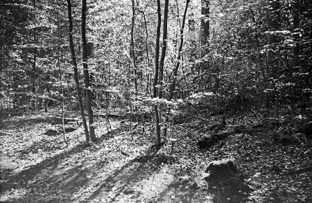 Analog black and white photography of sun, shining trough the leaves of a wood land. 写真素材