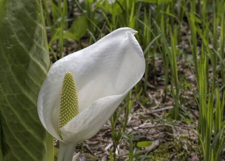 uncultivated: Calla , a flower in the marsh grass