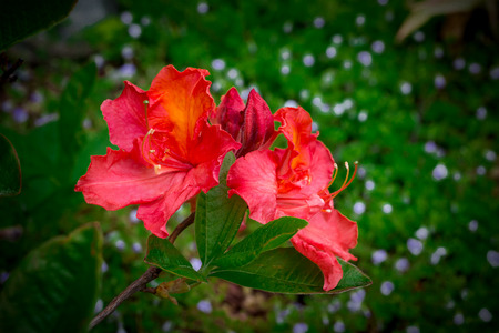 Rhododendron red on the background of leaves. Green background, dark vignette Stock Photo
