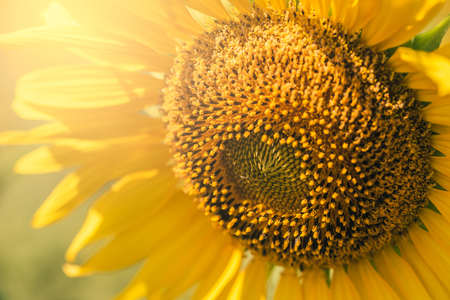 the close up image of Sunflowers Gaysorn overlay with sunlight in the morning