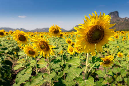 the sunflowers field with clearly blue sky. the concept of summer, relaxation, nature and outdoors. Standard-Bild
