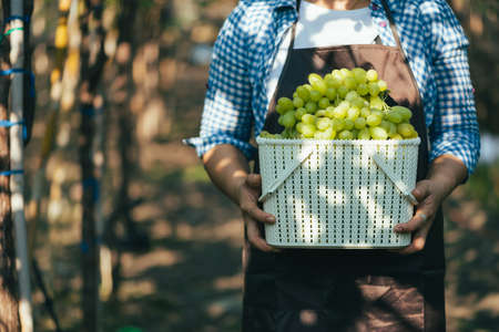 the woman harvesting the grapes in the vineyard. the concept of beverage, food, industrial and agriculture.
