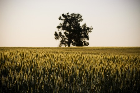 Heads of golden grain stretch out in fields at sundown Stock Photo - 6949170