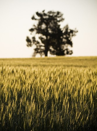 droughts: Heads of golden grain stretch out in fields at sundown