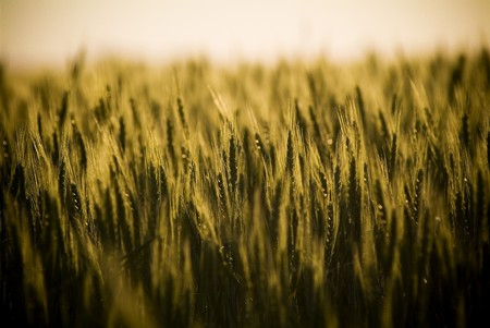 Heads of golden grain stretch out in fields at sundown Stock Photo - 6949157