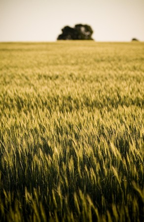 Heads of golden grain stretch out in fields at sundown Stock Photo - 6949713